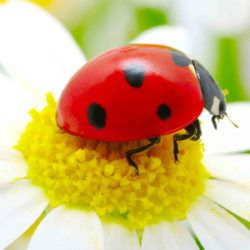 Ladybug on top of a daisy