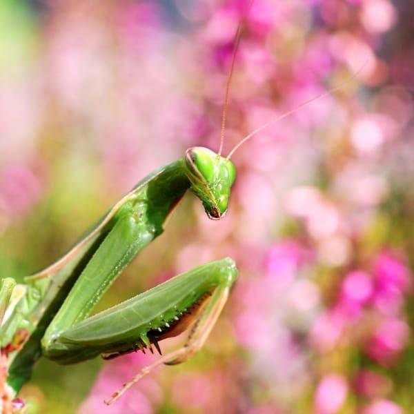 Closeup of Praying Mantis