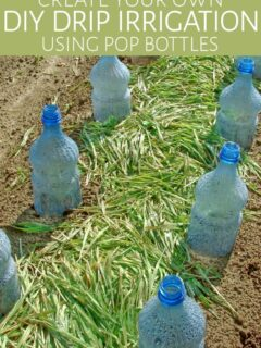 Plastic bottles in ground being used for DIY drip irrigation