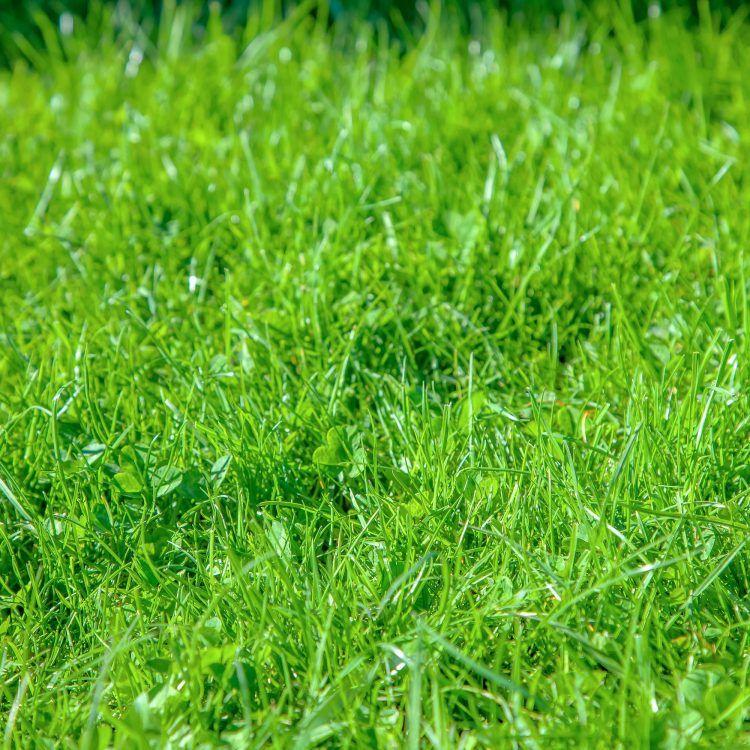 Natural grass closeup