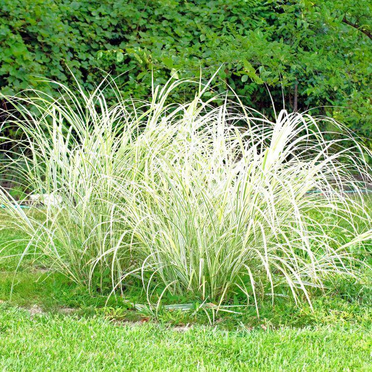 Ornamental grass in yard