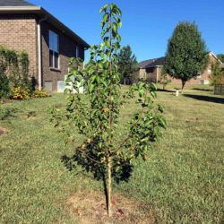 How I Planted Bare Root Trees