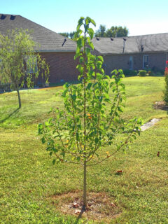 Growing young tree