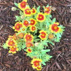 Daisies, yellow with red centers, growing in mulch