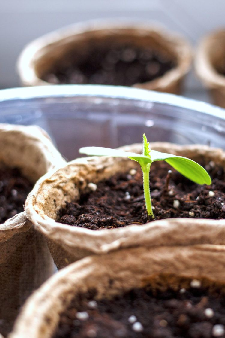 Biodegradable seedling pots in plastic bin