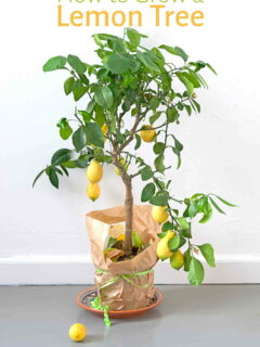 Lemon tree growing in pot