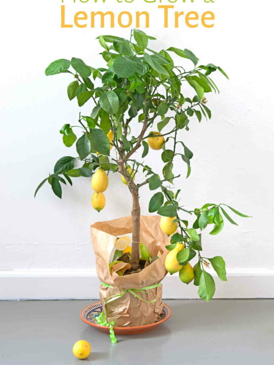 Lemon tree growing in pot