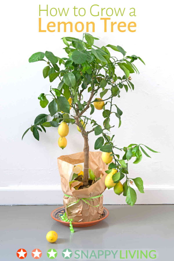 how to grow a lemon tree snappy living