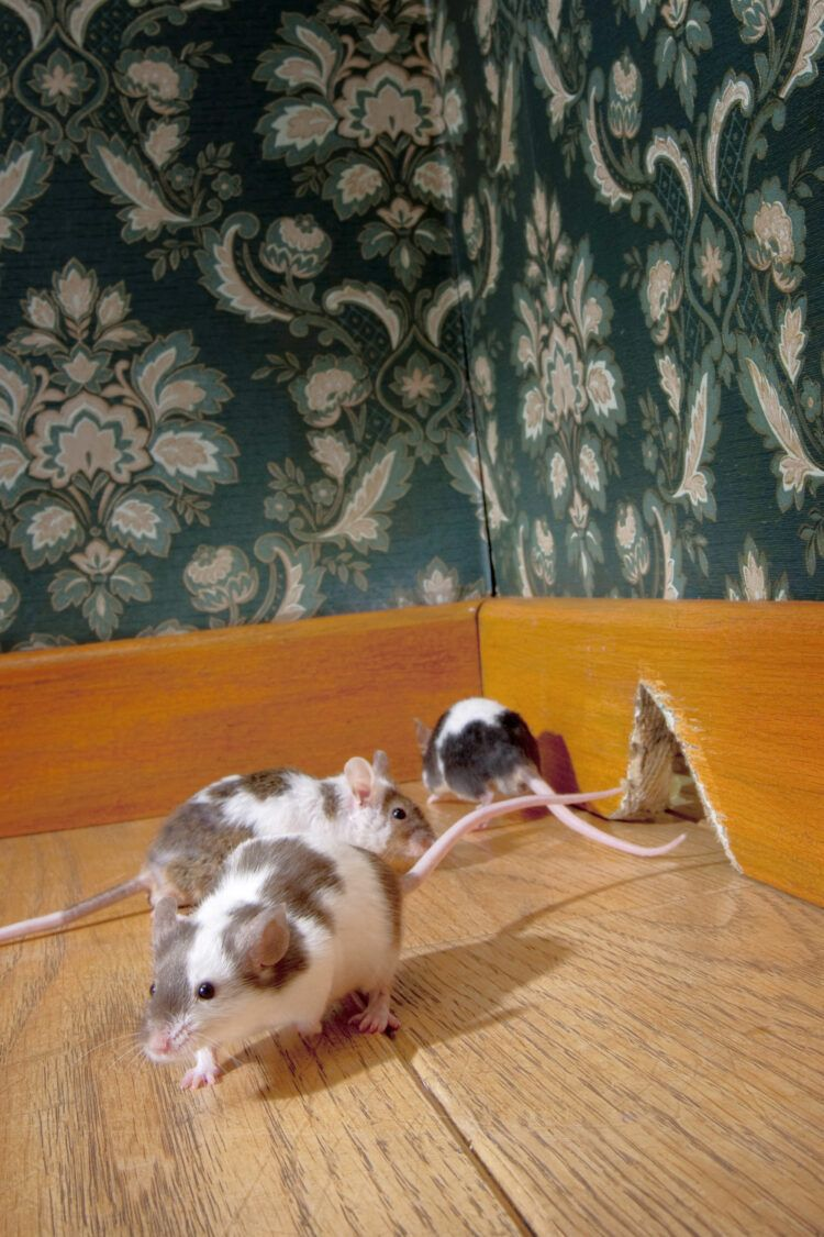 Mice in house